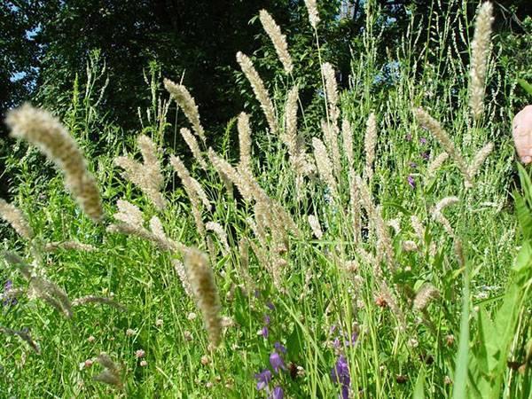 Растения семейства злаков: описание представителей, значение
