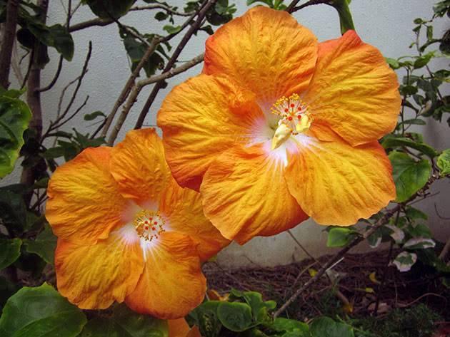 Выращивание гибискуса садового — секреты обильного цветения