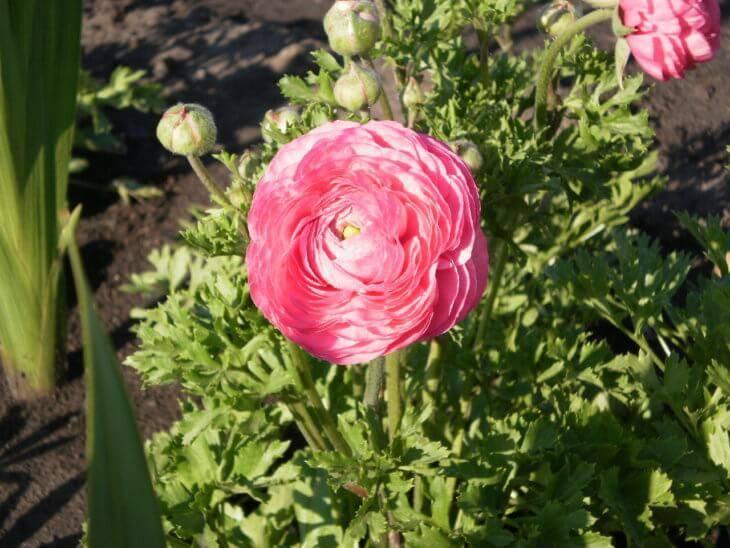 Как и когда посадить розу в открытый грунт весной