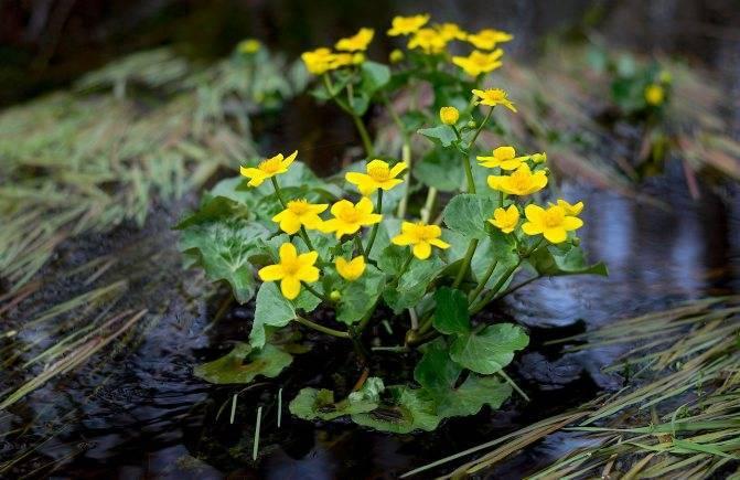 Калужница болотная: описание и правила ухода