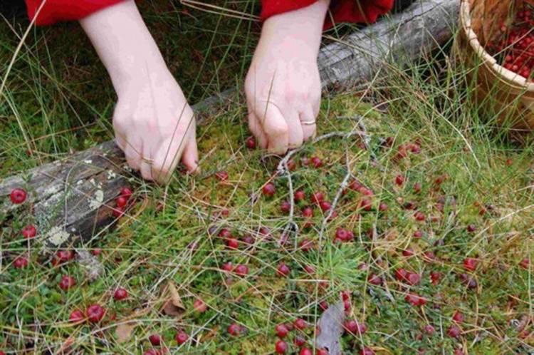 Выращивание клюквы на даче. выращивание клюквы: посадка, уход, размножение, сорта