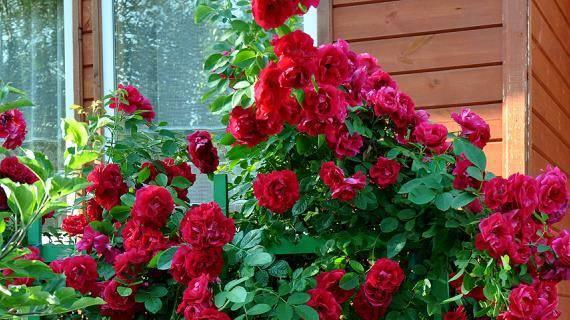 Как помочь розам перезимовать – советы по укрытию и хранению кустов