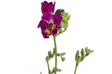 Выращивание фрезии в домашних условиях — проращивание, видео