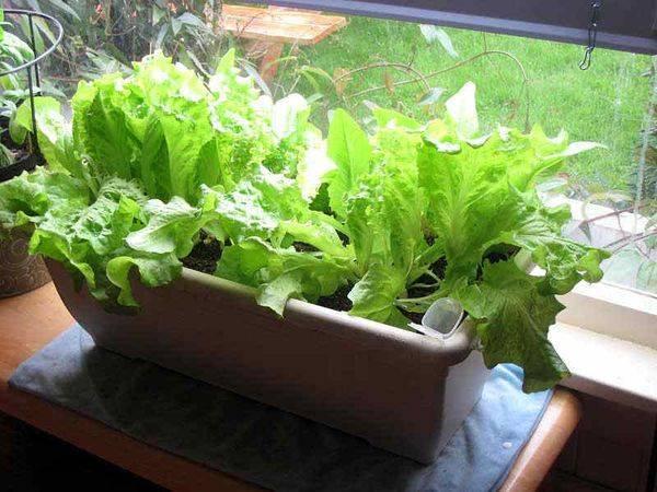 Кресс-салат: выращивание из семян в домашних условиях и в открытом грунте