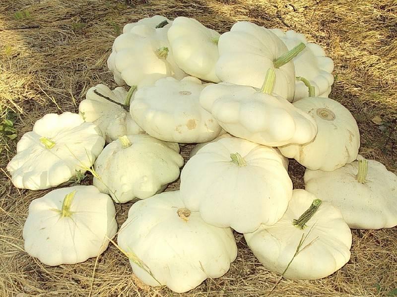 Посадка и выращивание патиссонов в открытом грунте. основы ухода и правила размножения