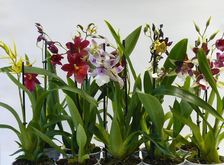 Орхидея лудизия: уход в домашних условиях