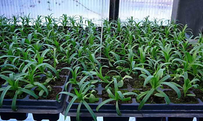Выращивание бругмансии — посадка в открытый грунт
