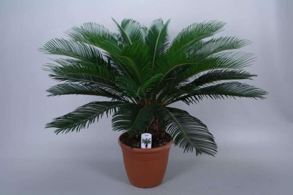 Финиковая пальма – секреты успеха выращивания и ухода