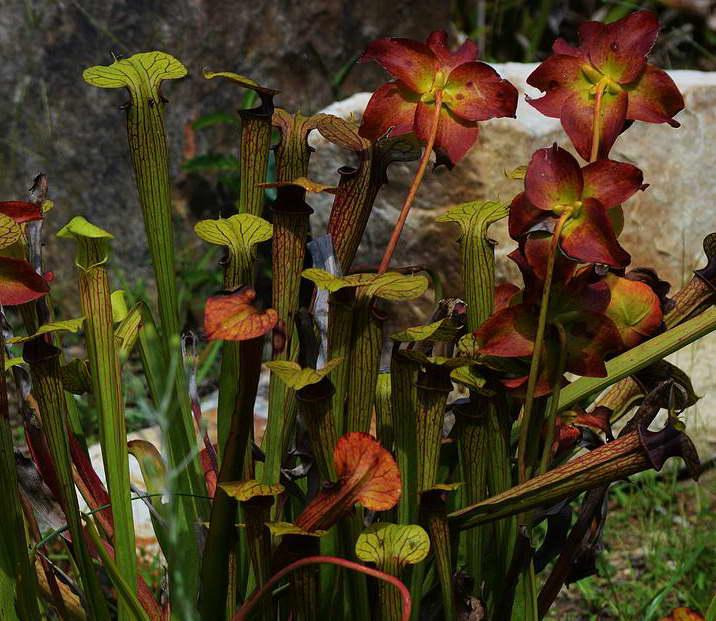 Непентес — уход и содержание цветка дома