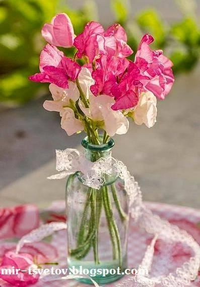Ипомея домашняя многолетняя и садовая однолетняя посадка семенами и уход размножение
