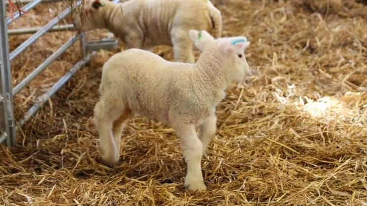 Породы овец для домашнего содержания