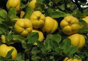 Срок и условия хранения плодов айвы на зиму в домашних условиях