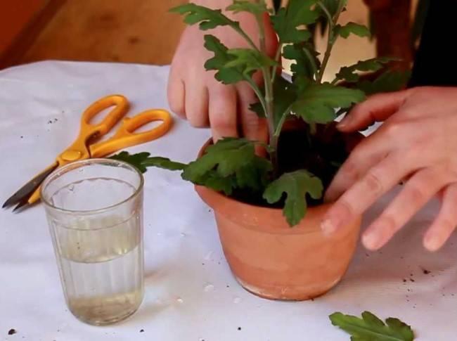 Выращивание хризантемы из семян: посев на рассаду, уход, пикировка