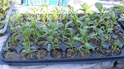 Как вырастить хризантему из семян