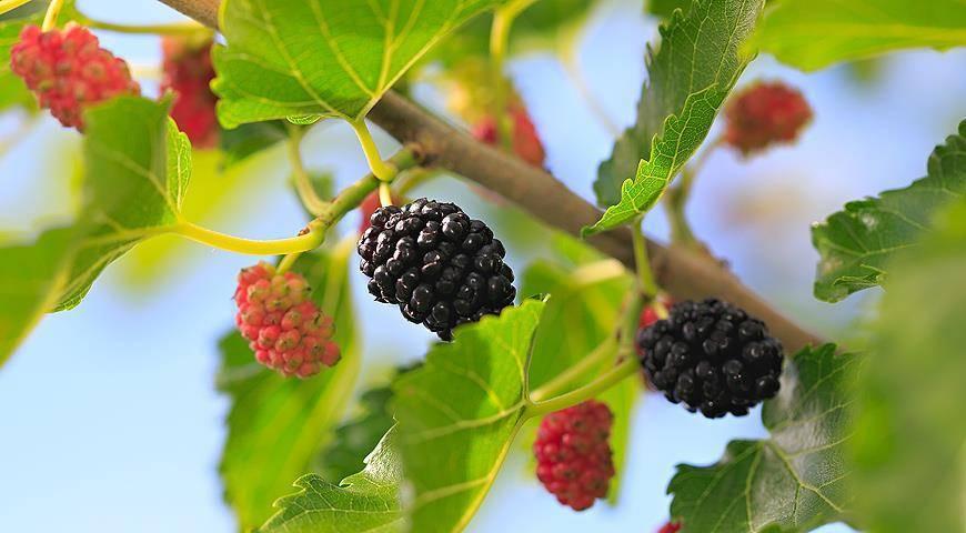 Шелковица черная: посадка и уход за деревом