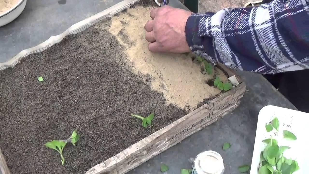 Особенности размножения столетника в домашних условиях: все способы посадки алоэ древовидного