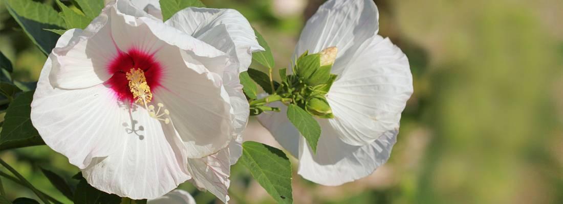 Гибискус садовый размножение черенками