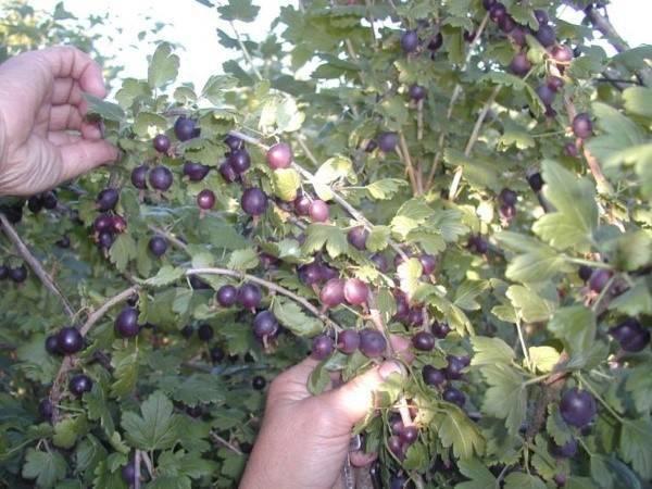 Выращивание йошты - посадка, полив, подкормка, обрезка, видео