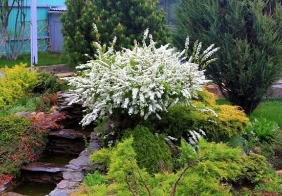 Спирея японская: посадка и уход, описание сортов