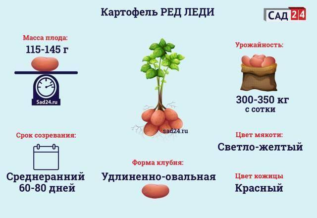 Сроки уборки картофеля по регионам и применение техники