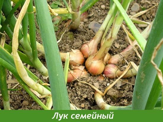 Лук-шалот: фото, описание, выращивание и уход, отличие от репчатого, применение в кулинарии