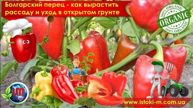 Особенности ухода за сладким (болгарским) перцем: как посадить, как выращивать, как сохранить и многое другое