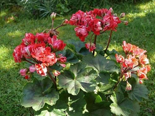Махровая пеларгония:  герань с густыми и пышными цветками