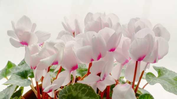 Почему не цветет цикламен в домашних условиях и что делать