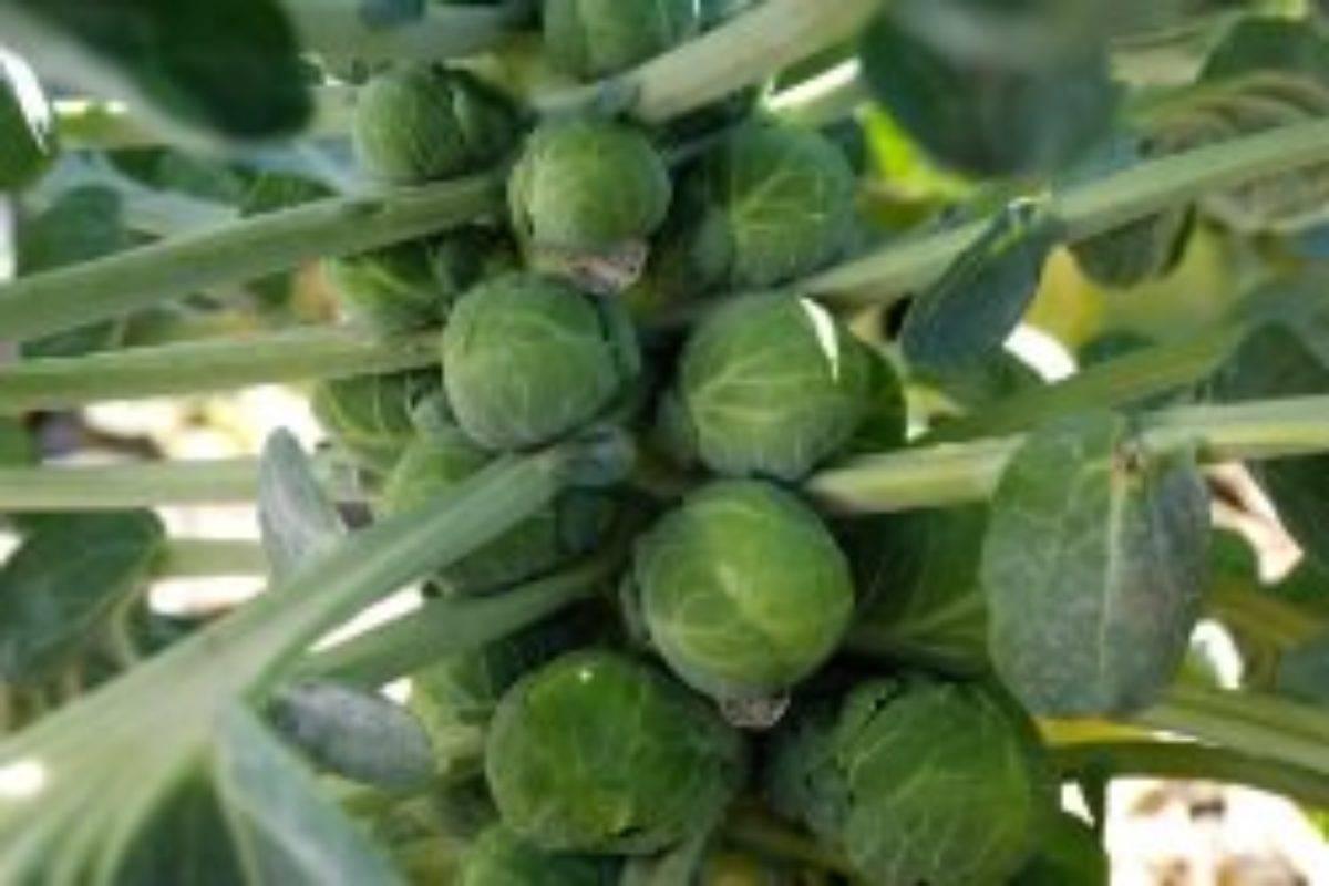 Выращивание рассады брюссельской капусты дома: откроем все секреты