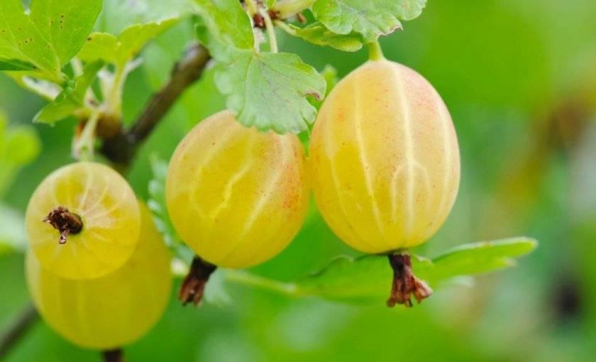 Как выращивать земляничное дерево из семян в домашних условиях