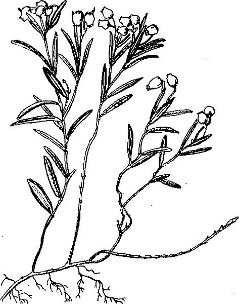 Рогоз – лечебные свойства и применение