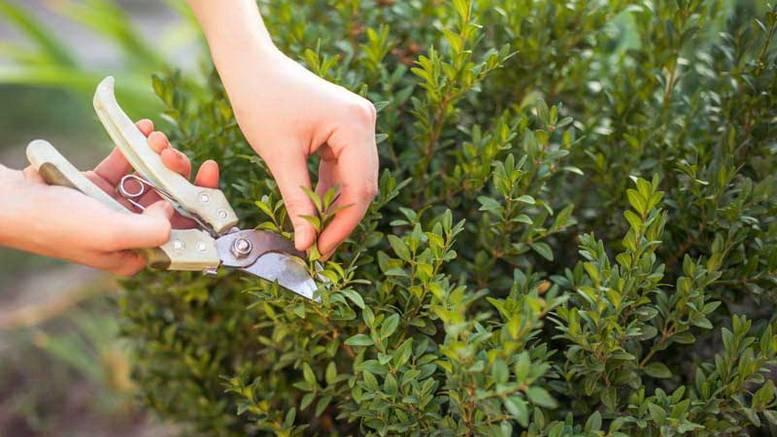 Размножение самшита черенками в домашних условиях – пошаговая инструкция с фото