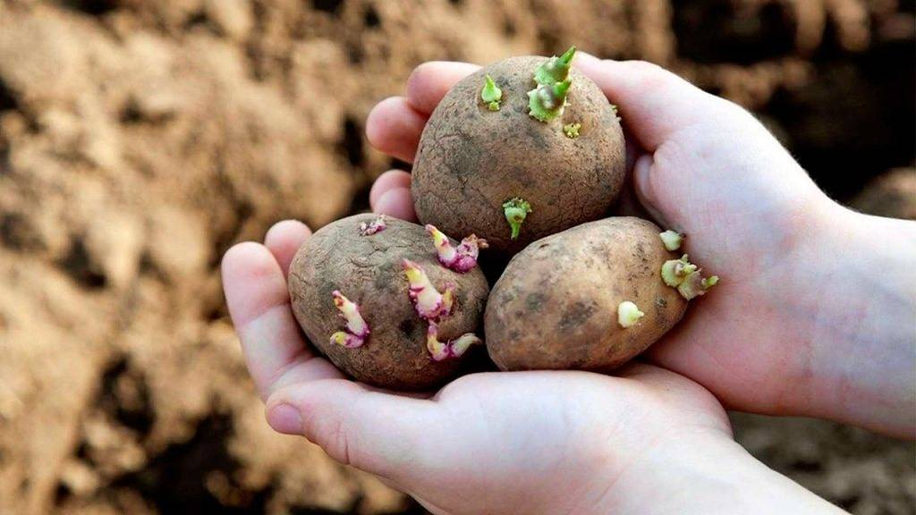 Картофель на зависть соседям: как посадить правильно? советы бывалого огородника
