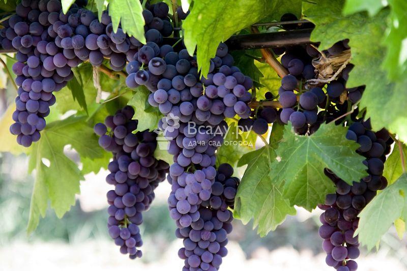 Посадка и выращивание винограда на урале для новичков