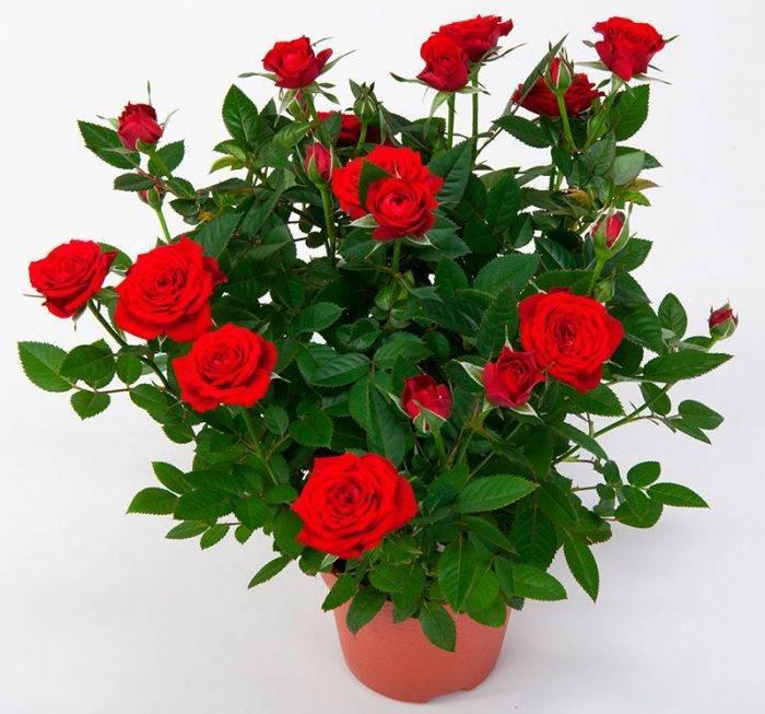 Реанимация роз, или что делать, если купили плохие саженцы