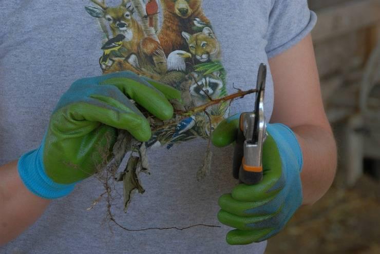 Размножение малины: 125 фото и видео описание как правильно размножить малину своими руками