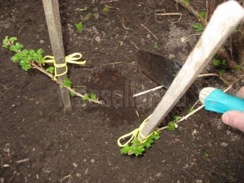 Калина бульденеж – как поливать, удобрять и обрезать, размножение черенками, отводками и делением куста