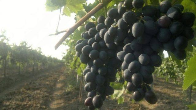 Уход за виноградом в июле – 3 самые важные процедуры
