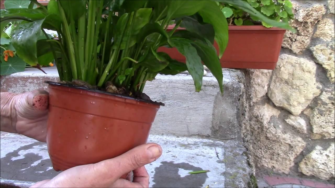 Виды и сорта спатифиллума