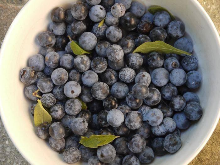 Полезные свойства терновника. плоды терна: полезные и опасные свойства