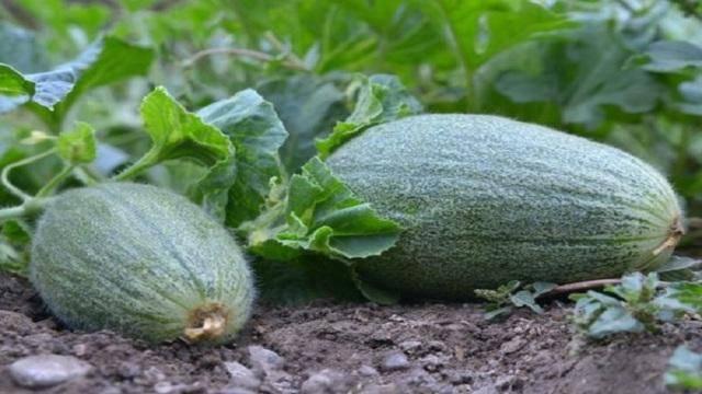 Любительская инструкция: как вырастить дыни рассадой и семенами в открытом грунте