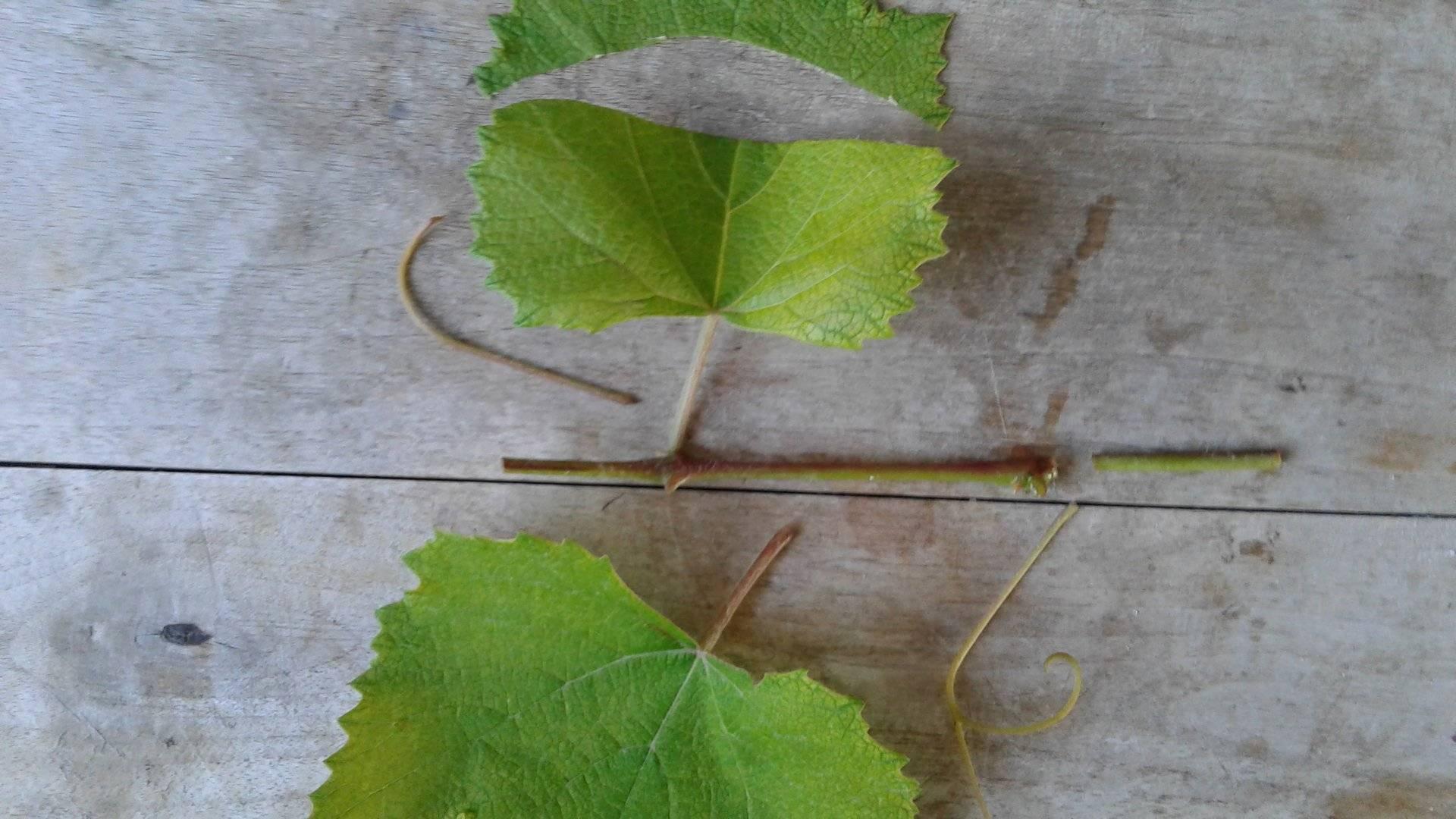 Вегетативное размножение винограда