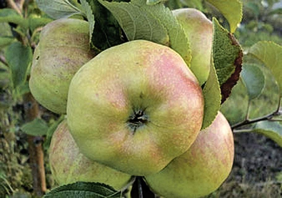 Подборка лучших сортов яблонь для подмосковья и не только