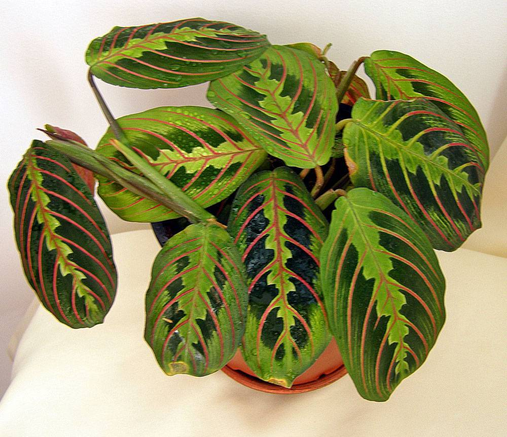 Маранта трецветная молитвенное растение — уход в домашних условиях за марантой триколор, фото, видео