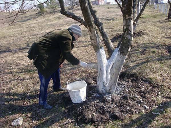 Как и когда побелить яблони: осенью или весной? советы и проверенные способы