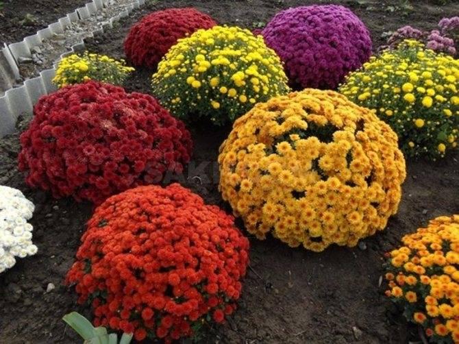 Канны осенью: правильный уход и подготовка цветов к зиме