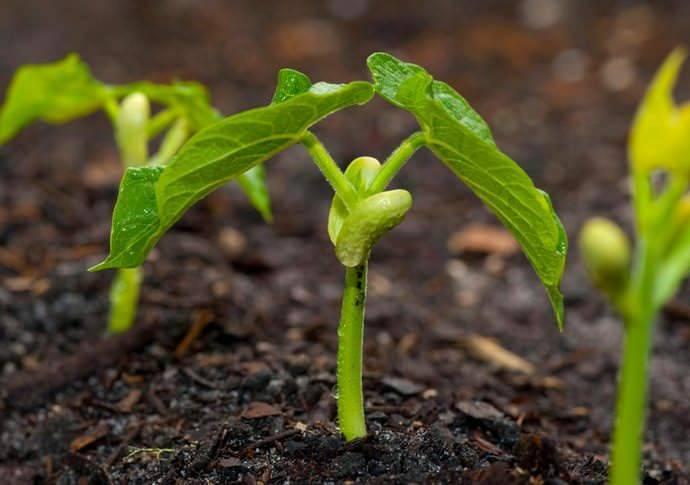Чтобы выросла фасоль