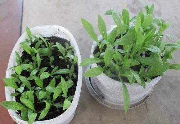Как и когда сажать флоксы на рассаду. как вырастить хорошую рассаду однолетних флоксов из семян