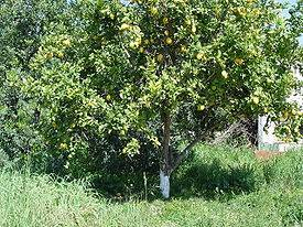 Как правильно обрезать молодой лимон. особенности ухода за комнатным лимоном для получения ароматных плодов