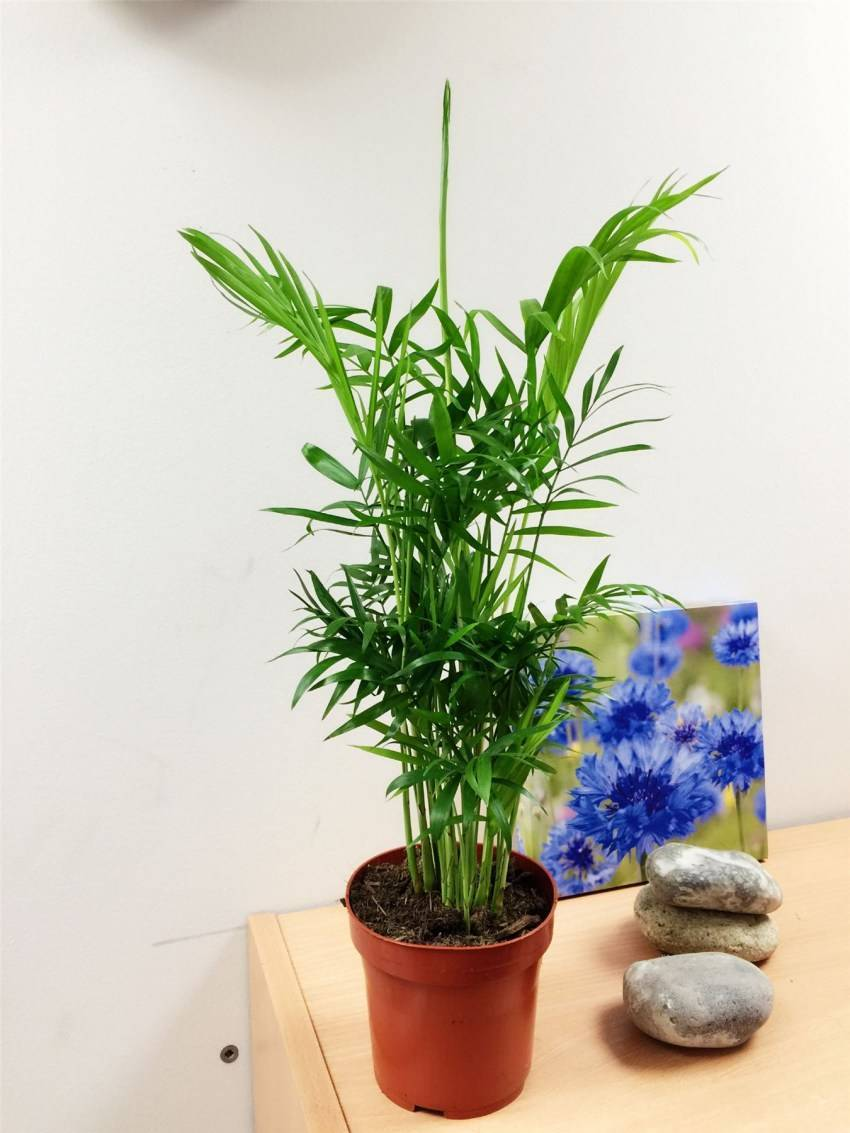 Хамедорея — посадка, выращивание и уход